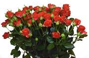 Роза кустовая. Цена за ветку